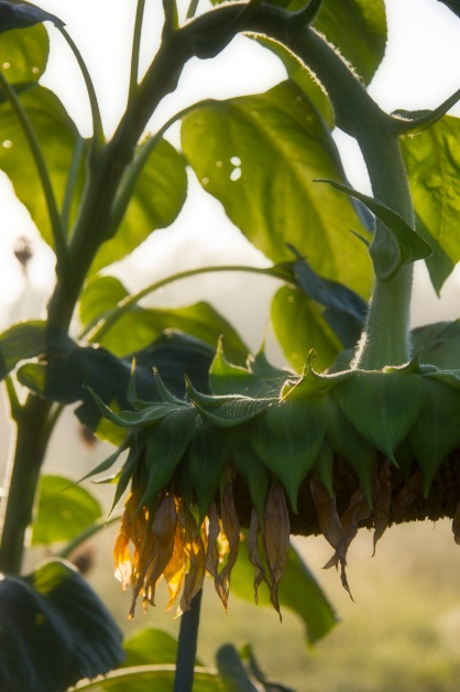 sunflower droop