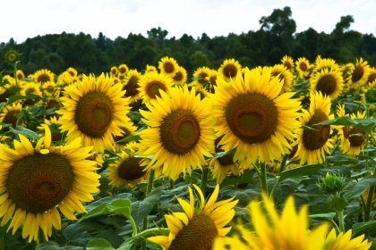 20120726_3 Lakes and Sunflowers_6343